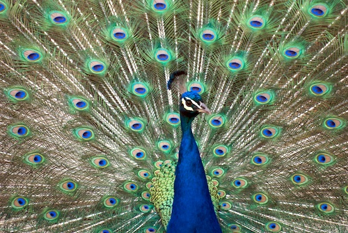 Photograph of a peacock at the Denver Zoo.